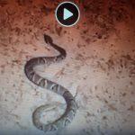 Vídeo – Homem encontra cobra venenosa em botina antes de ir para a lavoura