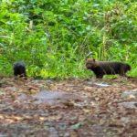 Animal ameaçado de extinção é visto pela primeira vez no Parque Estadual do Turvo
