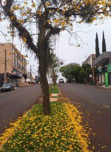 Ipês amarelos encantam com sua beleza e garantem  novo visual no centro de Três Passos