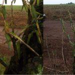 Gafanhotos estão atacando lavouras de Santo Augusto e São Valério do Sul