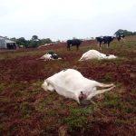 Raio mata três vacas em propriedade no interior de Tiradentes do Sul