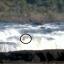 Vídeo – Onça é flagrada atravessando o rio Uruguai no Parque Estadual do Turvo